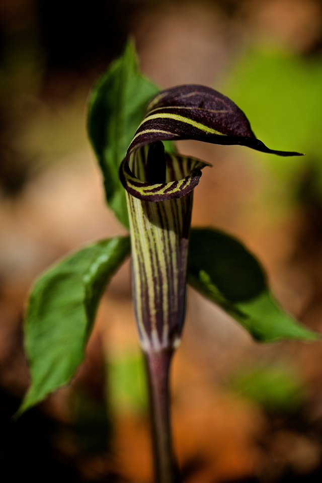 Jack-in-the-pulpet, Moore Cove Falls, Brevard, NC