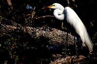 2017 March - Alligator Farm Wading Birds