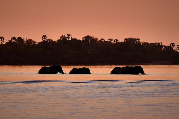 Elephants crossing the Zambezi River at sunset.